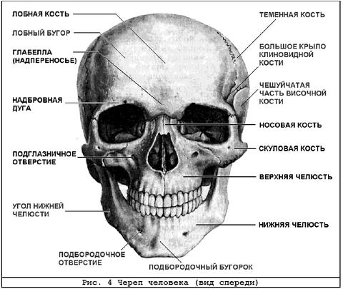 В скелете человека различают